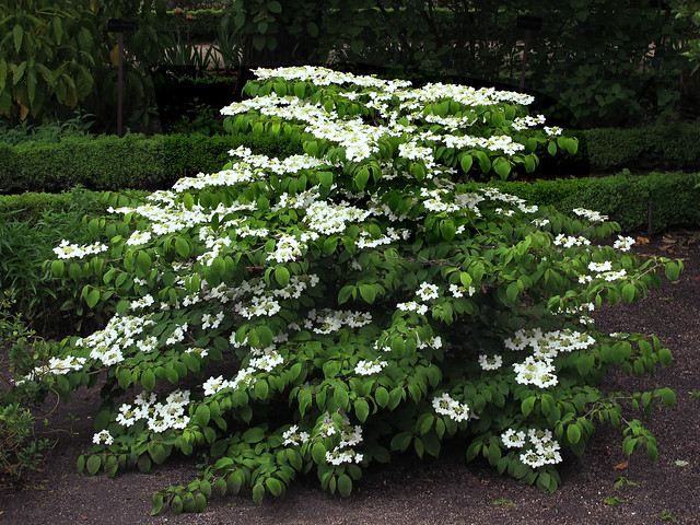 Arbusto viburnum plicatum mariesii real jardin botanico de madrid flickr photo sharing for Jardin 00 garden