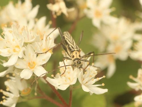 カンボウトラカミキリ(大陸基亜種)