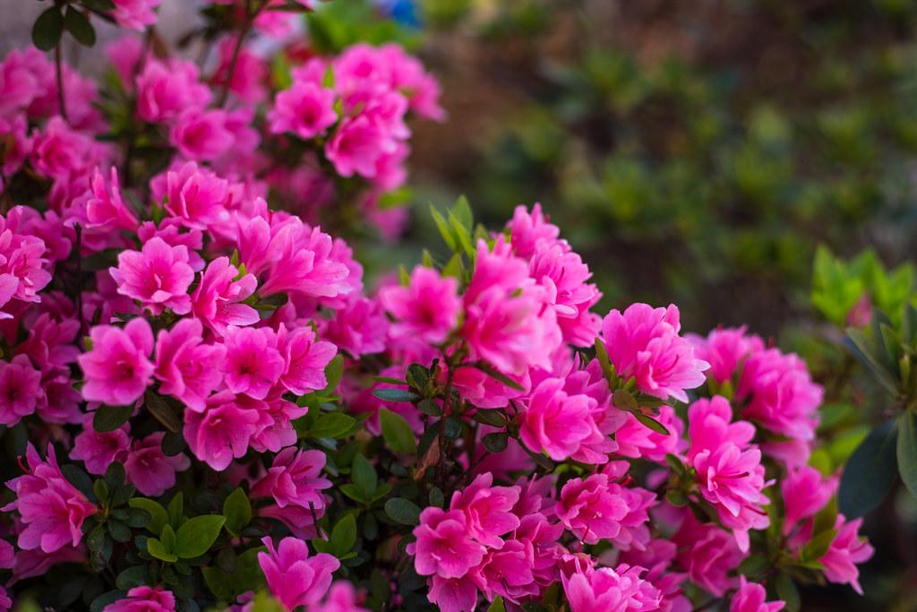азалия лепестки цветы  № 3898062 загрузить