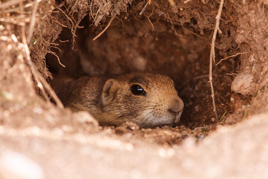 Home Sweet Home  Home Sweet Home Utah Prairie Dog Bryce