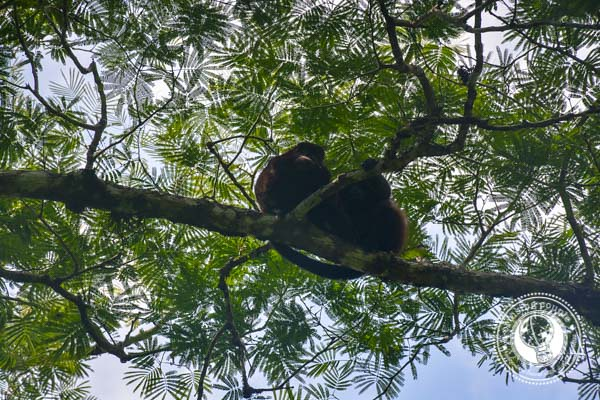 Howler Monkeys Maderas Volcano Ometepe