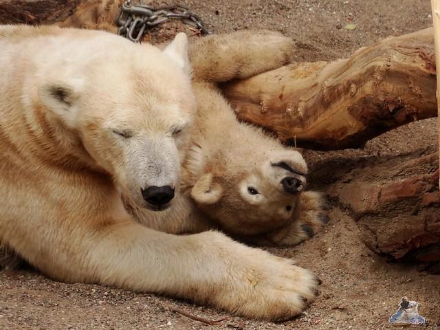 Eisbär Fiete im Zoo Rostock 14.06.2015  40