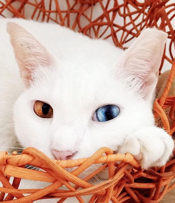 Красивая белая кошка с гетерохромией - ПоЗиТиФфЧиК - сайт позитивного настроения!