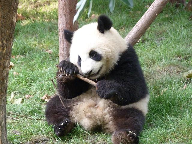 Oso panda de Chengdú (China)