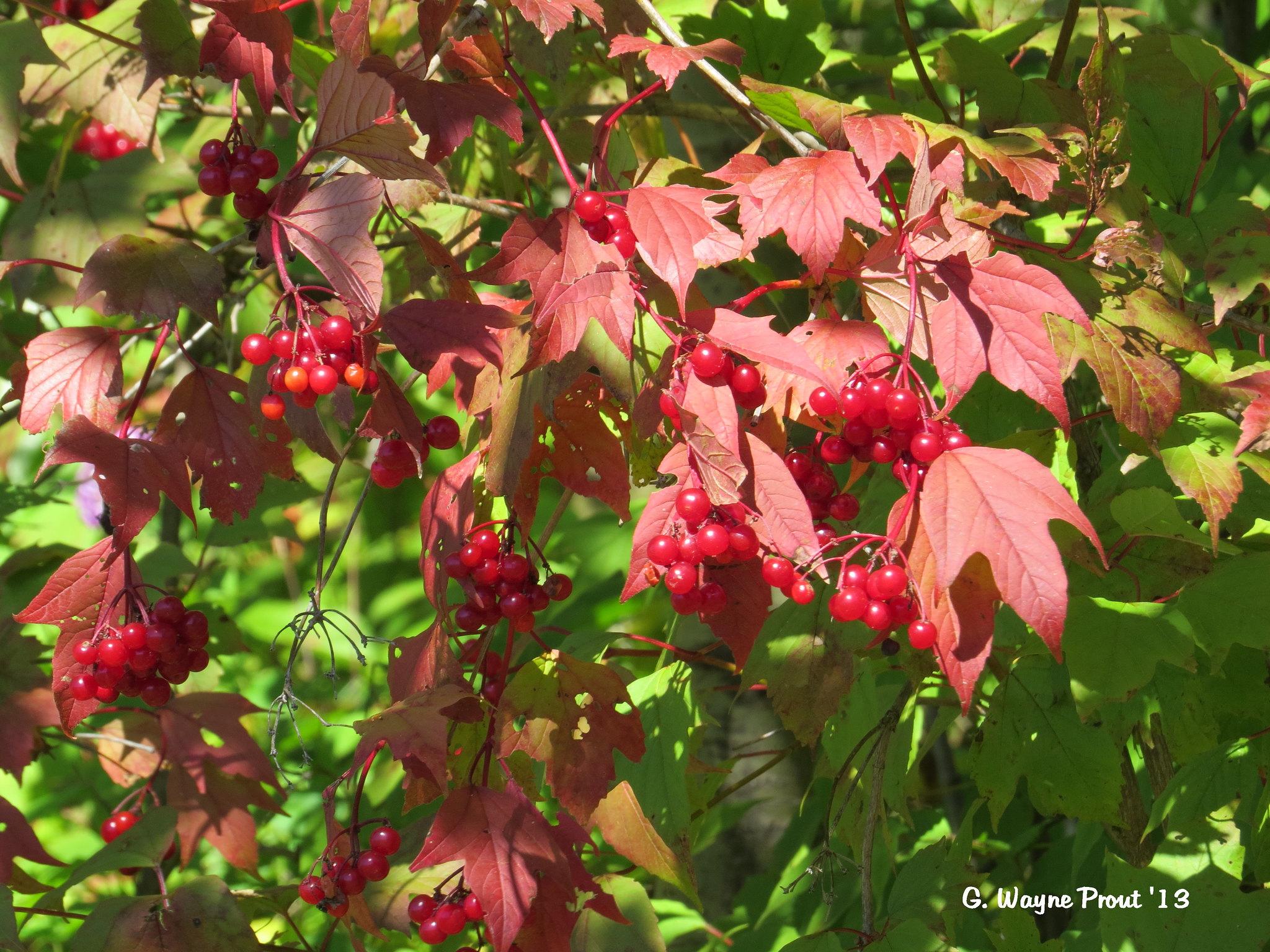 Highbush Cranberry (Viburnum trilobum)