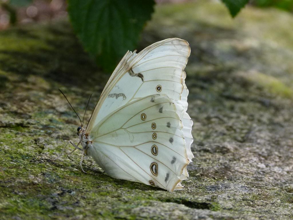 white morpho niagara falls butterfly conservatory jim. Black Bedroom Furniture Sets. Home Design Ideas