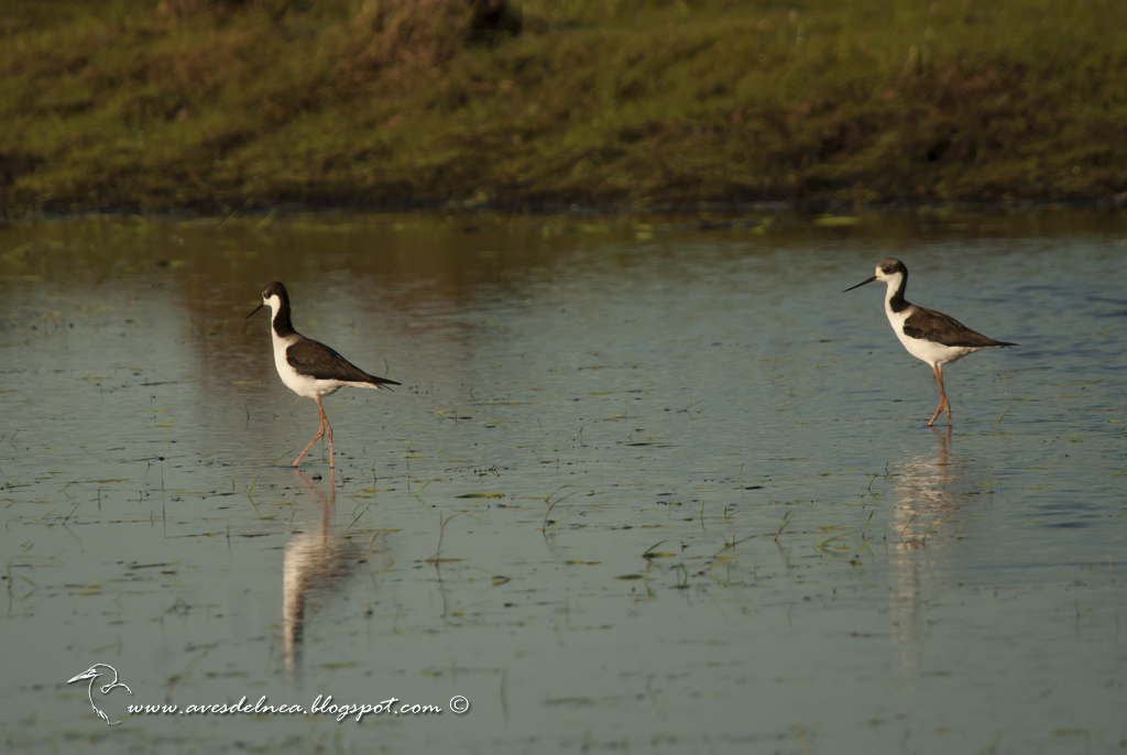 Tero real (Black-necked Stilt ) Himantopus mexicanus