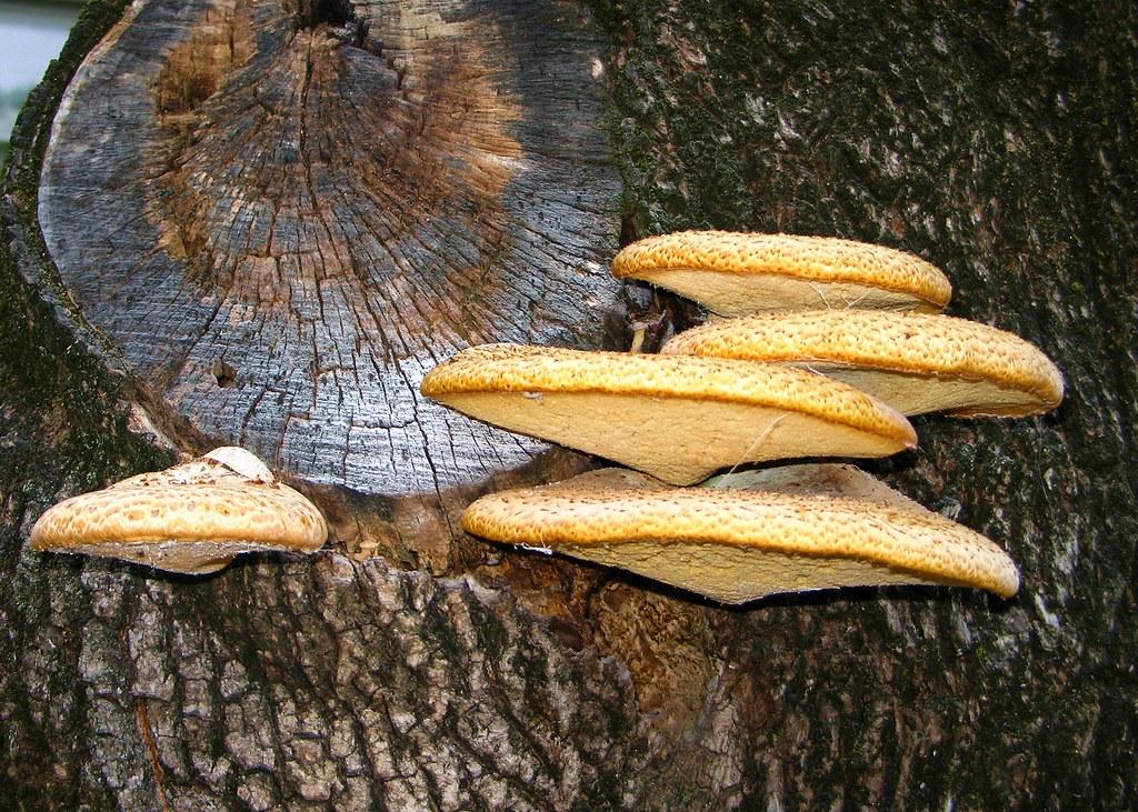 Dryad's saddle...   AKA Pheasant's back mushroom ...