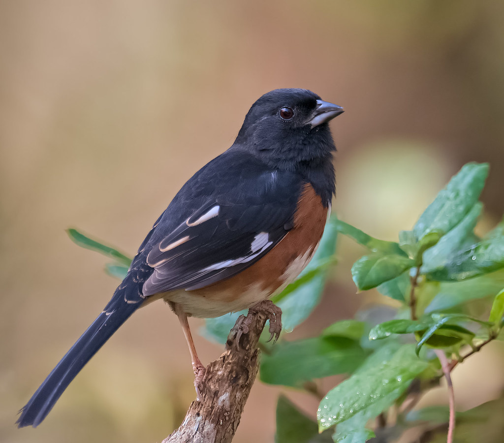 Male Eastern Eastern Towhee Male | by
