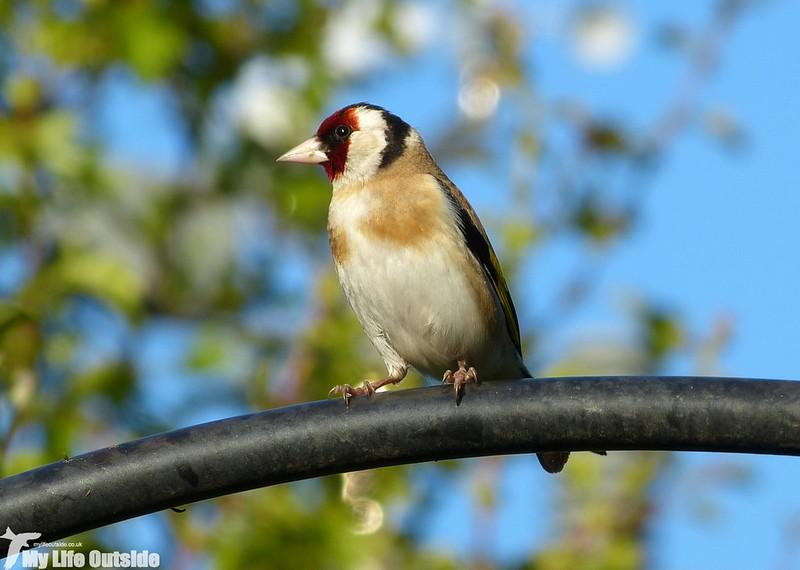 P1130332 - Goldfinch