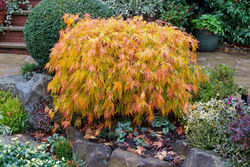 acer palmatum dissectum 39 viridis 39 in autumn the foliage. Black Bedroom Furniture Sets. Home Design Ideas
