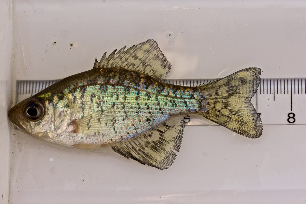 Black crappie on a measuring board a juvenile black for Knights landing fishing report