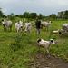 Cattle graze in Ta Kuti village