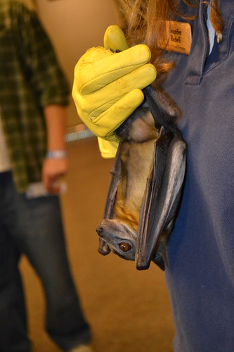 A straw-coloured fruit bat being held by Jennifer Redell,  a conservation biologist/cave and mine specialist with the Wisconsin Department of Natural Resources