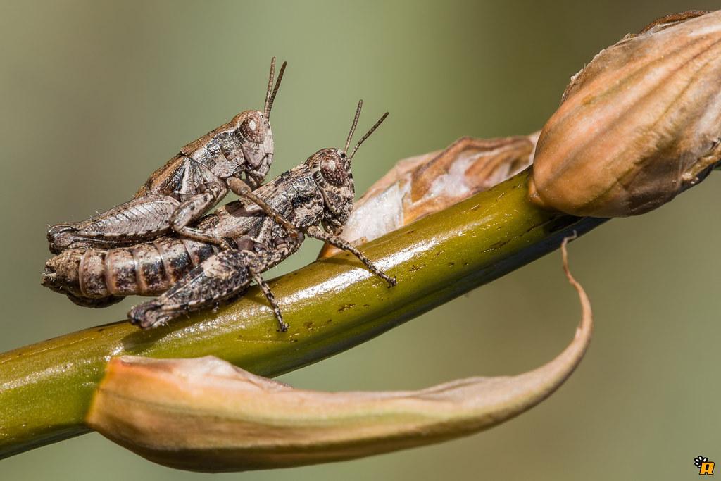 Grasshoppers Love in December