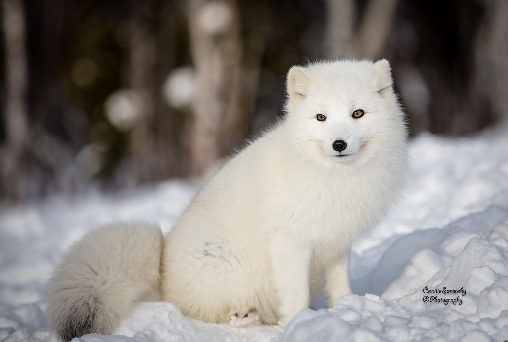 Arctic Fox Puppy In Febrauary Www Langedrag No English