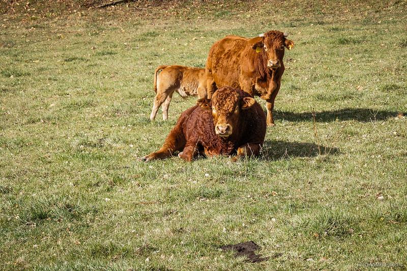 Una familia bovina descansando plácidamente en Vidrà