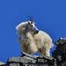 Mountain Goat on Piegan Pk.