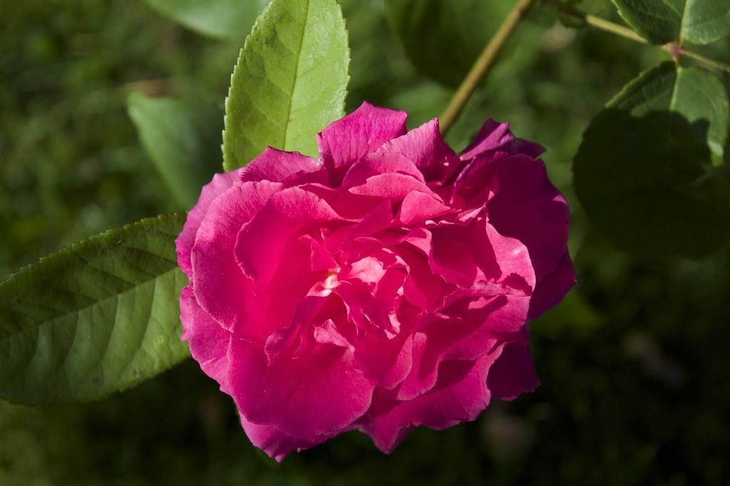 Tour de Malakoff Rose Rose Tour de Malakoff