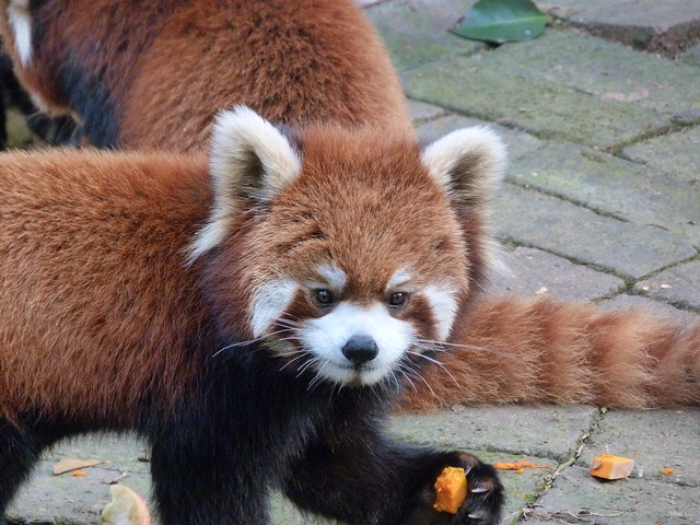 Panda rojo en Chengdú (China)