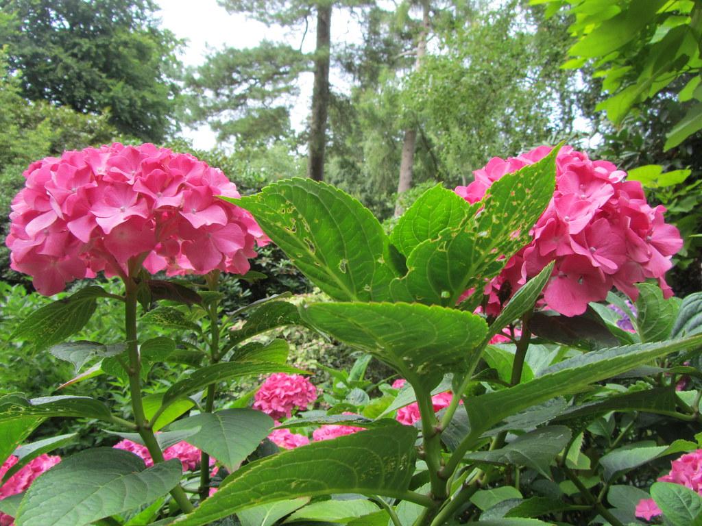 How to grow and care for hydrangeas love the garden - Caring hydrangea garden ...