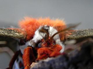 Cecropia Moth Portrait - The Grump