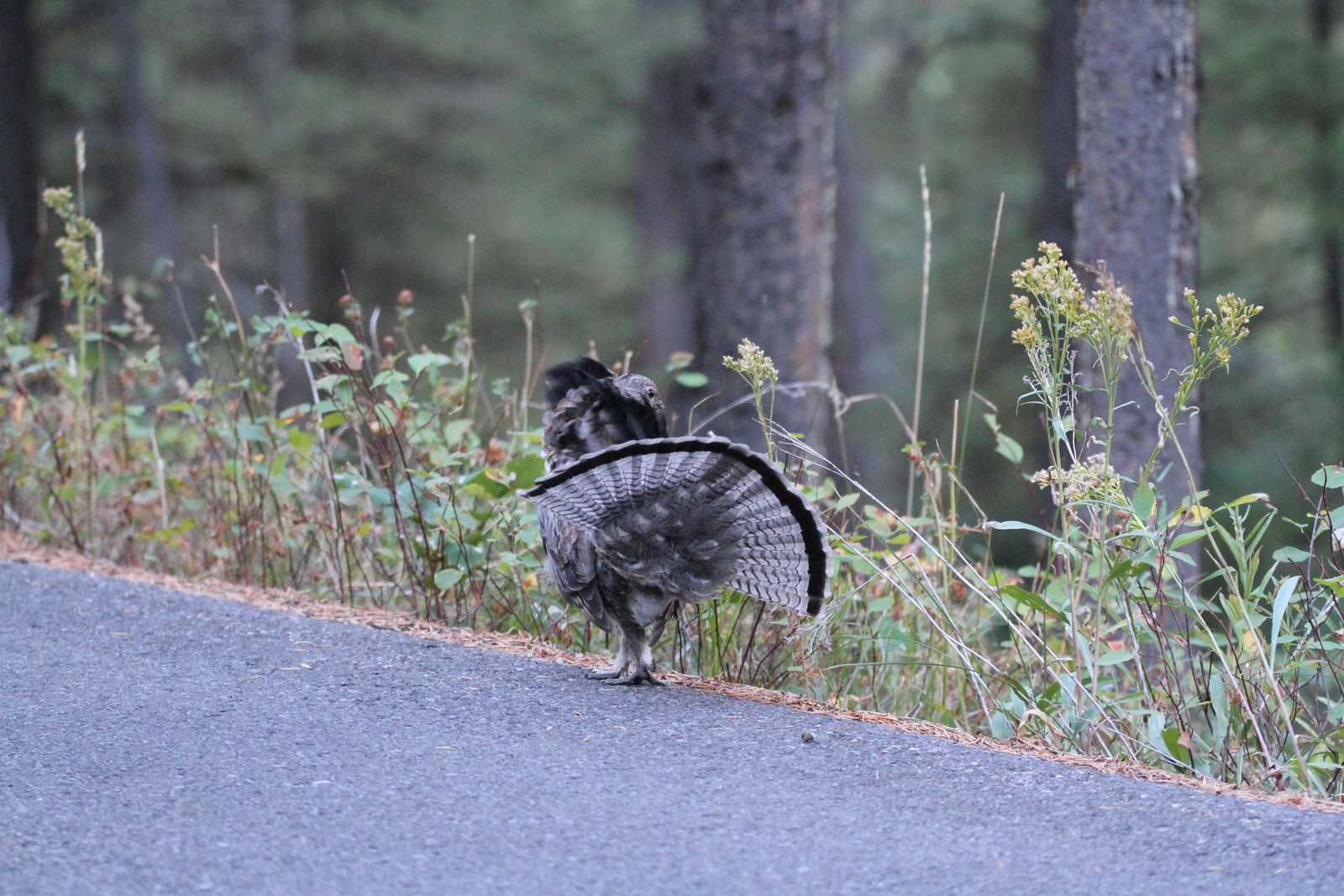 grouse by heather IMG_0055