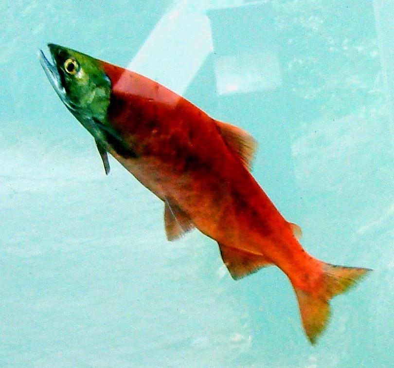 Spawning kokanee at the idaho fish and game mi nature for Idaho fish and game jobs