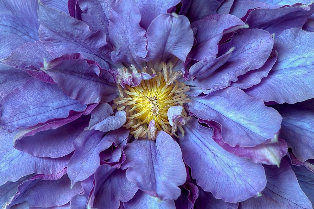 clematis vyvyan pennell jacky parker flower photography. Black Bedroom Furniture Sets. Home Design Ideas