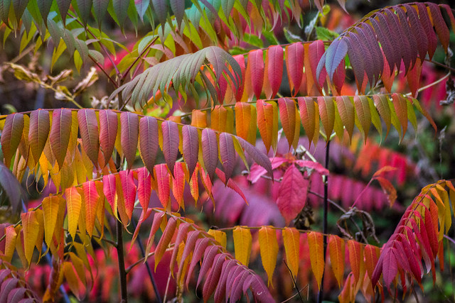 Sumac, Colorful, Autumn, Fall Foliage, Fall