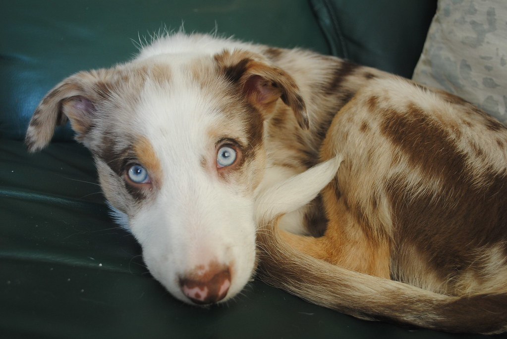 Red Border Collie Blue Eyes Red Merle Border Collie