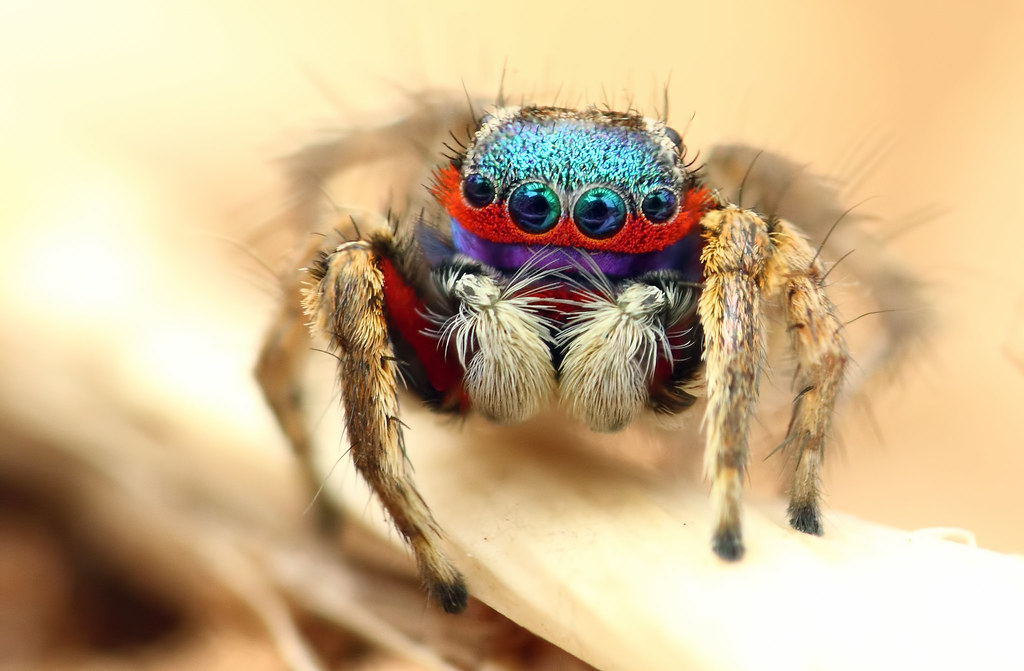 Colorful jumping spider - photo#15