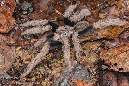 Tarantula IMG_4255 copy