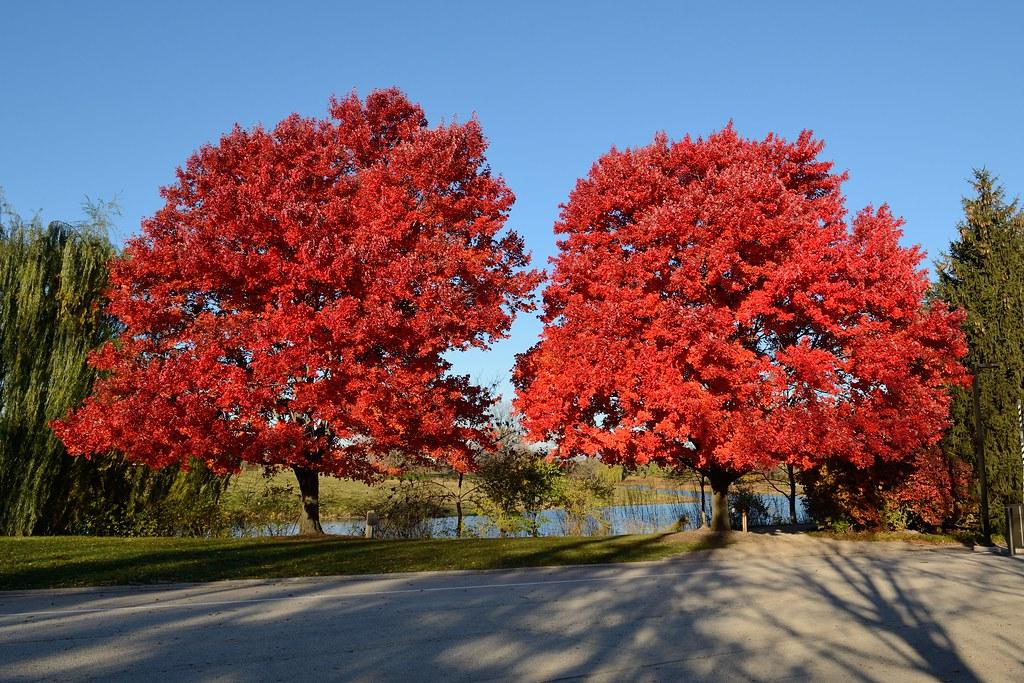 2013 11 10 Chicago Botanic Garden 1 39 October Glory 39 Red