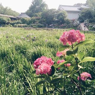 紫陽花の季節 #紫陽花 #本土寺