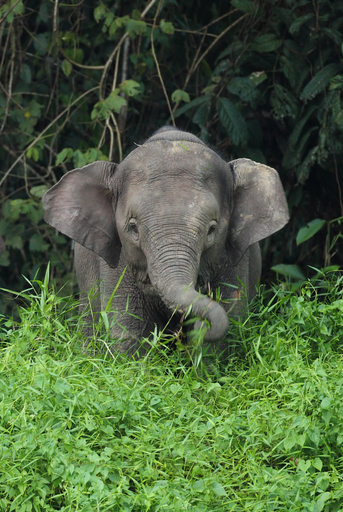 Young Borneo Pygmy Elephant | I've just returned from a ...