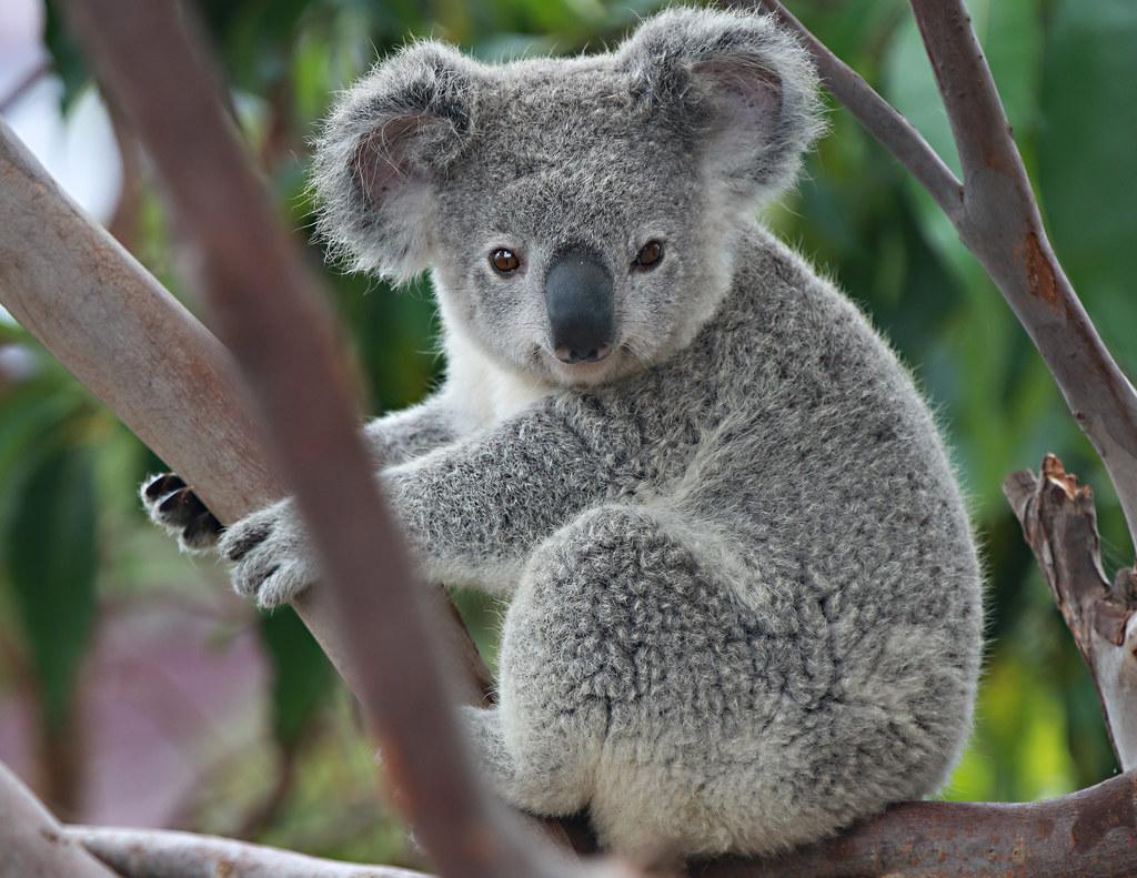 koala angie bell flickr. Black Bedroom Furniture Sets. Home Design Ideas