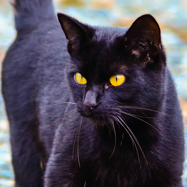 Black Cat With Yellow Eyes In Dream