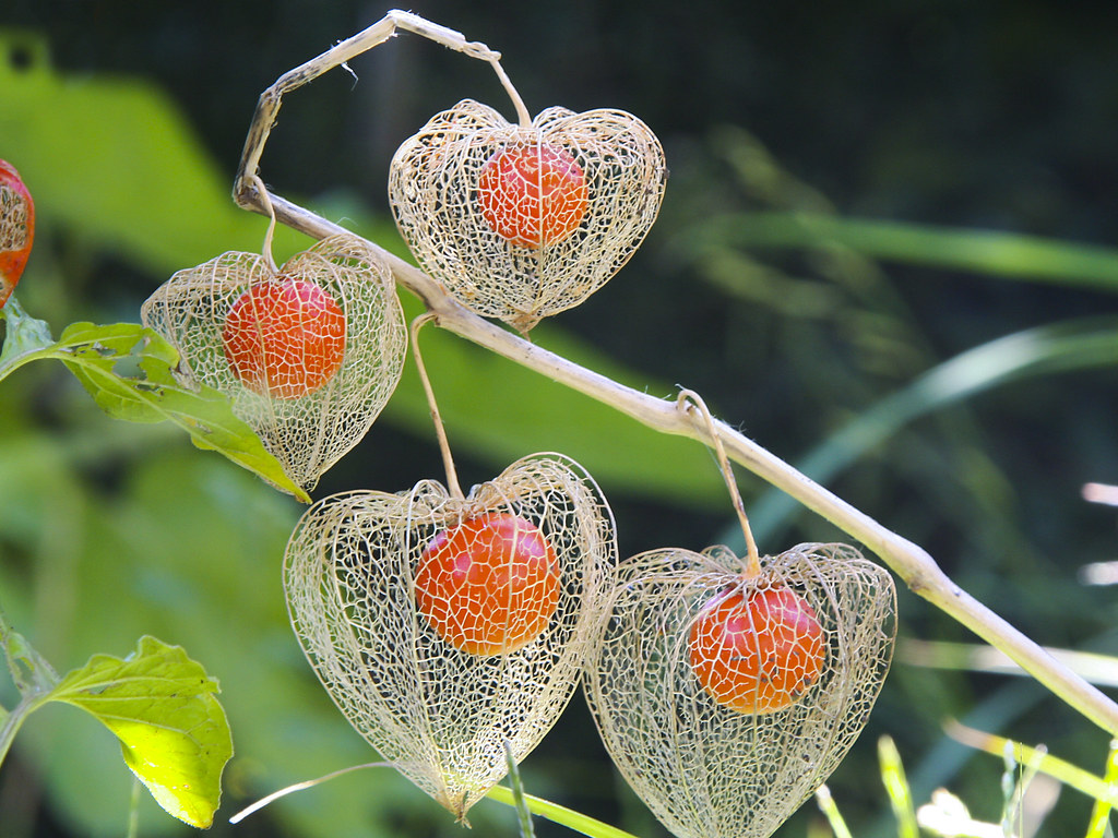 Image result for chinese lanterns plants