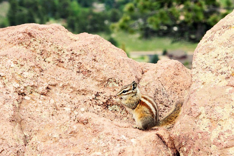 Chipmunk on Mount Sanitas, Boulder
