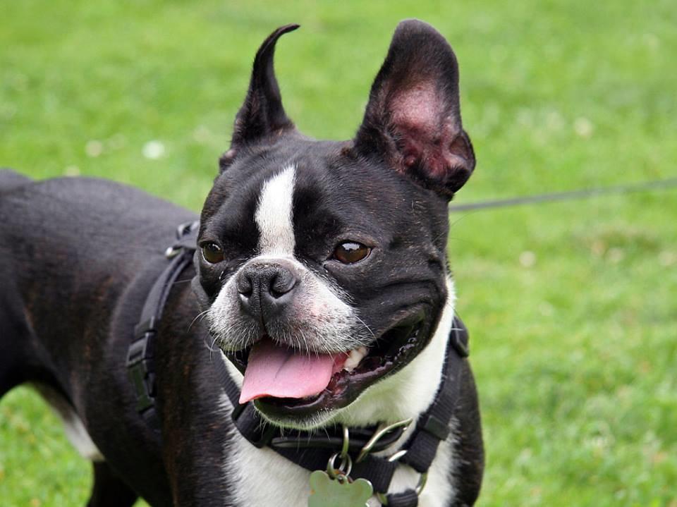 2013 12 01 bull terrier frances pedimos tu ayuda para - Bulldog frances gratis madrid ...