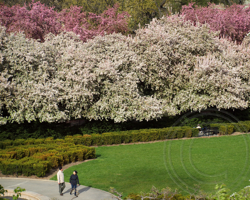 Blooming Crab Apple Trees, Conservatory Garden, Central Pau2026 | Flickr