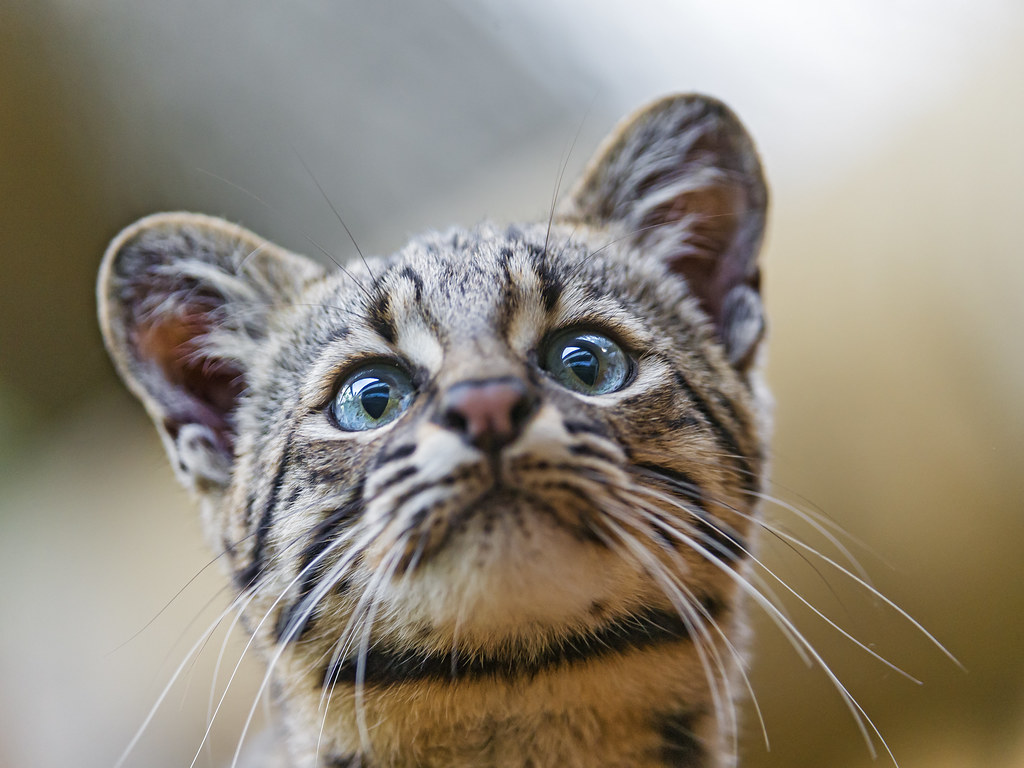 Geoffroy S Cat In The Wild