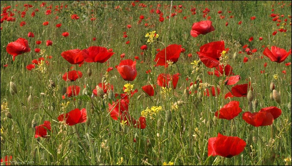 Les poppies  18863391521_b9f025050b_b