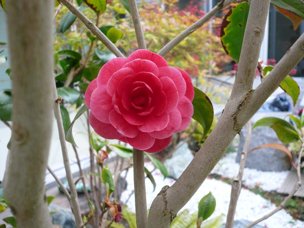 fleur de cam lia cam lia en fleur jardins du japon et d 39 ailleurs flickr. Black Bedroom Furniture Sets. Home Design Ideas