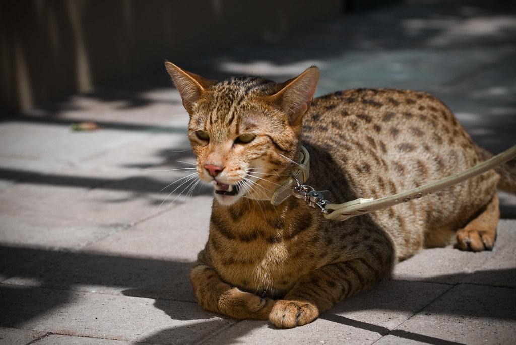 Amazing-Ashera-Cat-Pictures