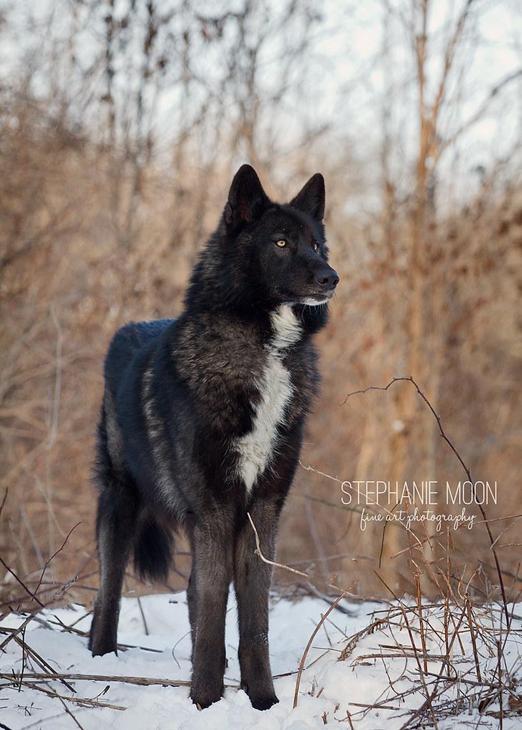 ambassador wolf lucien of ironwood wolves black wolf flickr