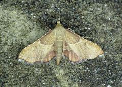 62.077 Endotricha flammealis