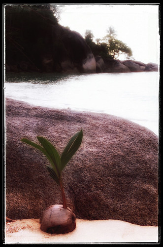 Baby coconut washed up on a Thai beach (in Snapseed)
