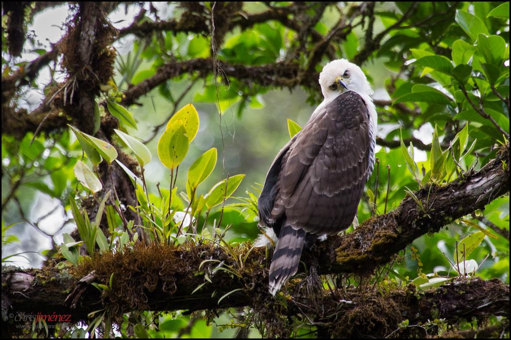 Image result for Ornate hawk eagle pic